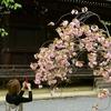 仁和寺の桜_携帯で写して帰ろう
