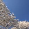 木次斐伊川堤防の桜