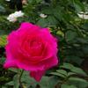 旧古河庭園のバラその7