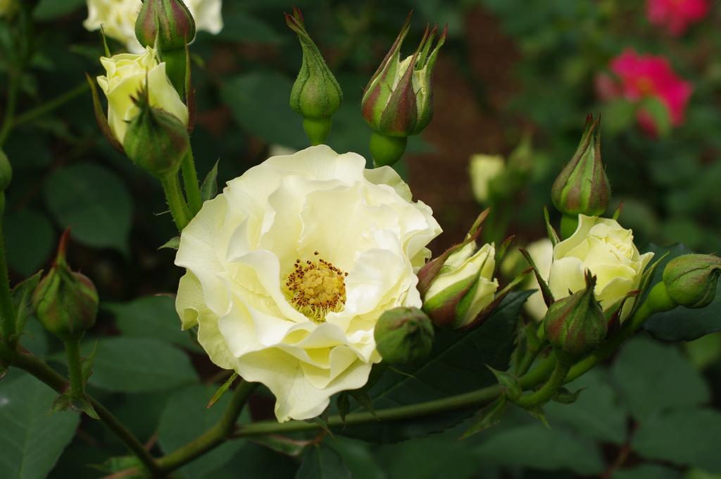 旧古河庭園のバラその3