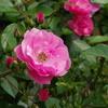 旧古河庭園のバラその5