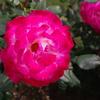 旧古河庭園のバラその4
