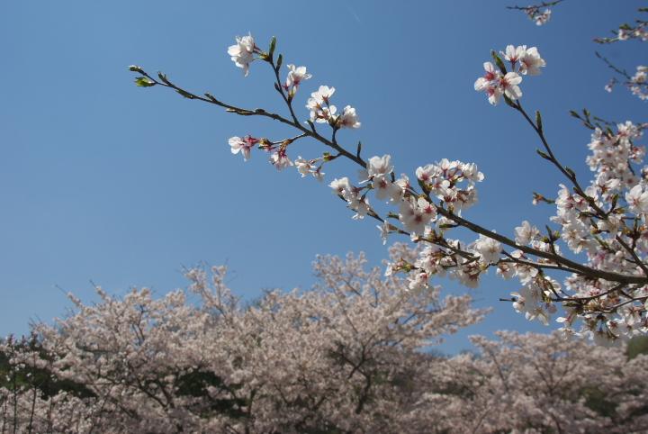 桜_花空間