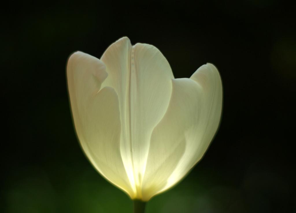 tuliplamp