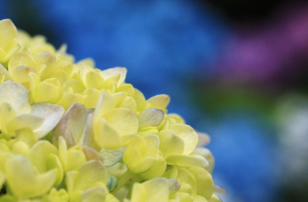 コドモ紫陽花