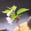 私の家の桜