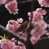 桜にミドリ