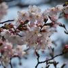 三ノ宮の桜