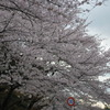地元の桜2011
