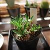 Euphorbia ユーフォルビア 蛾眉山