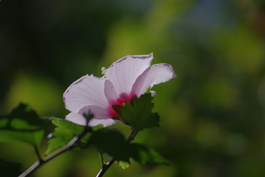 rose of Sharon 1