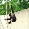 チンパンジー レディー