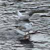 賀茂川の水鳥