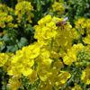 春のうた。黄色の蜜取り