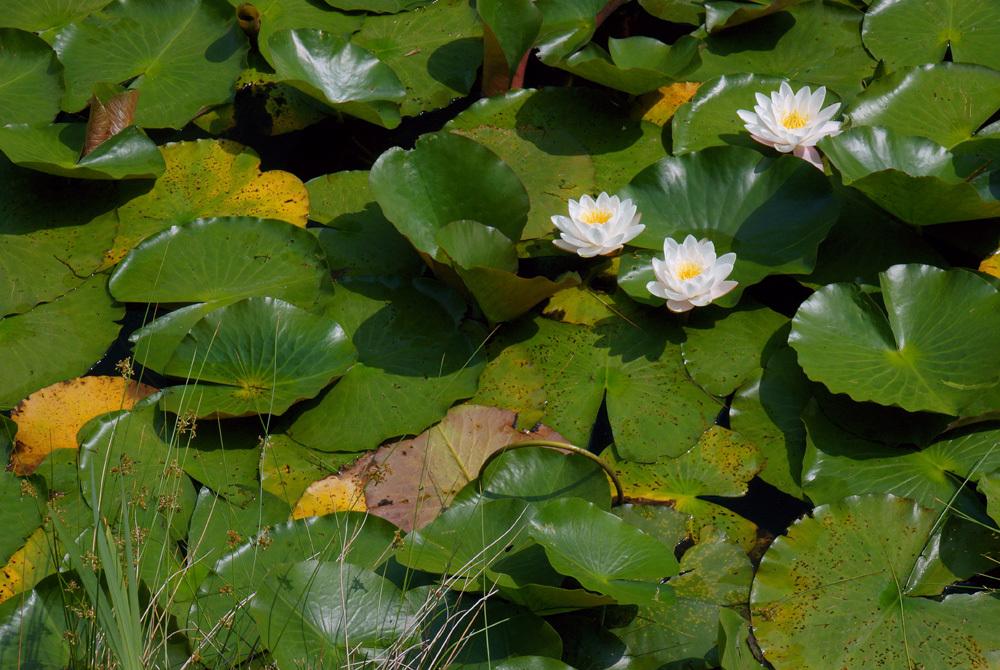 睡蓮の花咲く