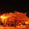 モレラの夜桜
