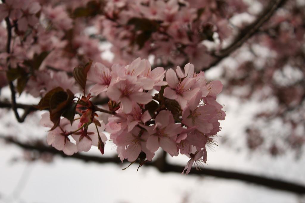 金刀比羅山の桜