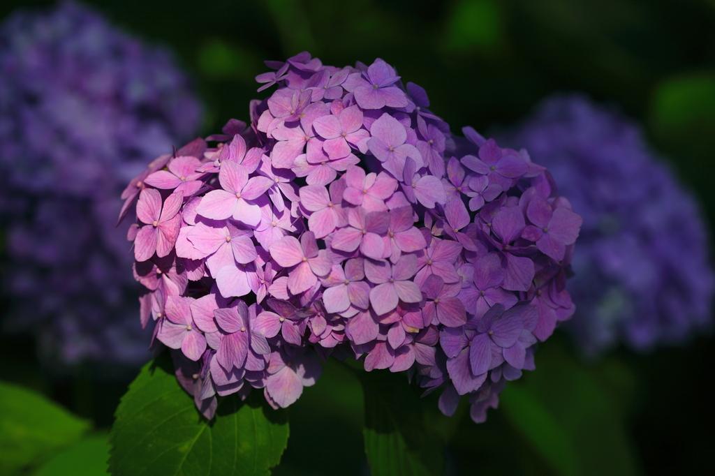 明暗_紫陽花