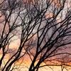 裸木と夕焼け