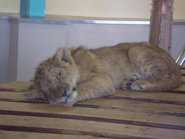子ライオンのお昼寝