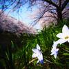 桜咲く 佐保川沿い 03