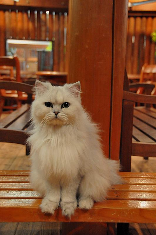 猫チンチラ 天保山アニパ