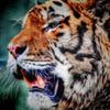 Real Tiger・改