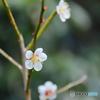 高山竹林院の梅
