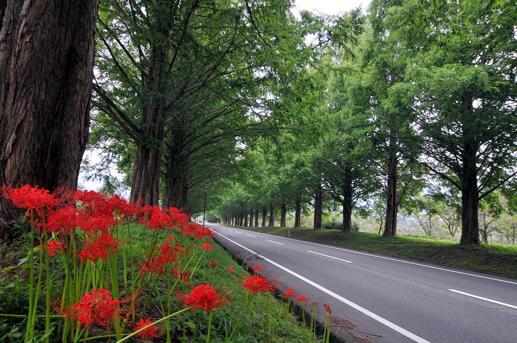 メタセコイア並木と花 マキノ