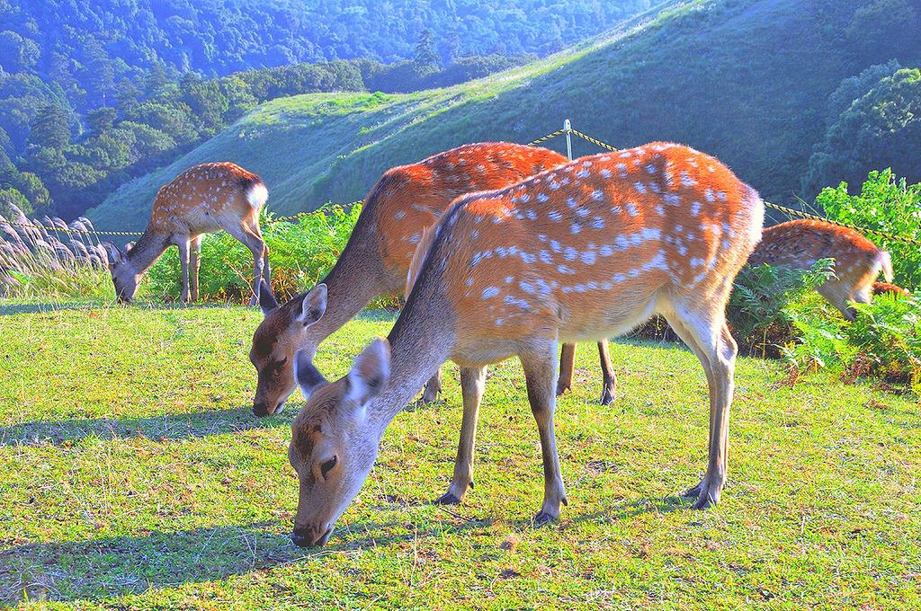 鹿の群れ 若草山