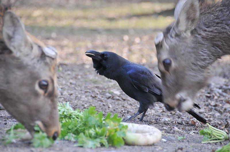 鹿と烏の共同戦線 奈良市
