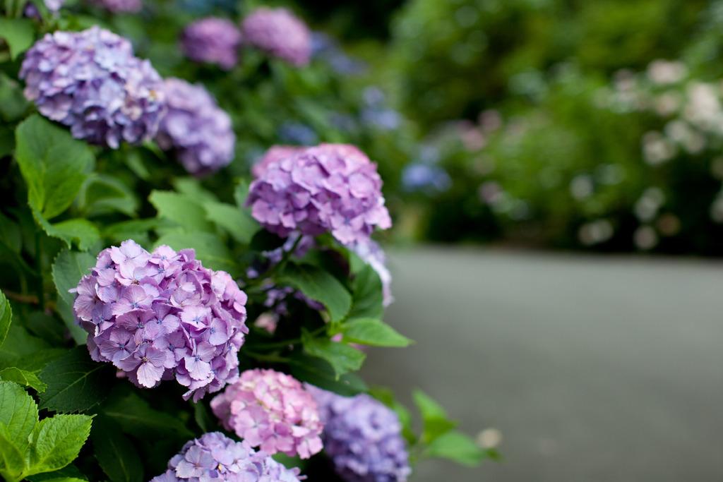 紫陽花~藤~