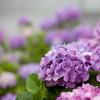 紫陽花~牡丹~
