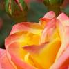 黄色とピンクの薔薇