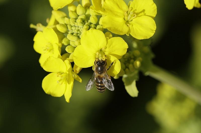 春一番ハチ8