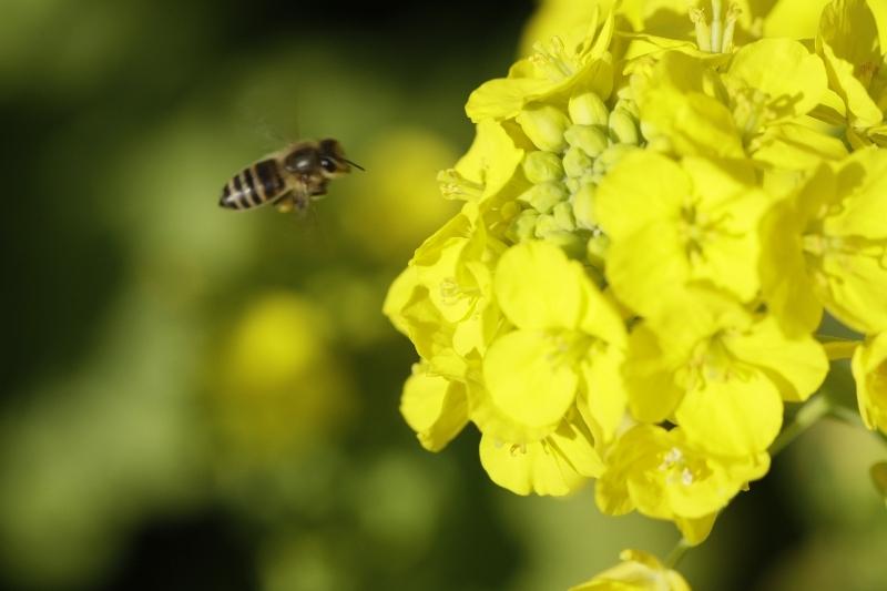 春一番ハチ5