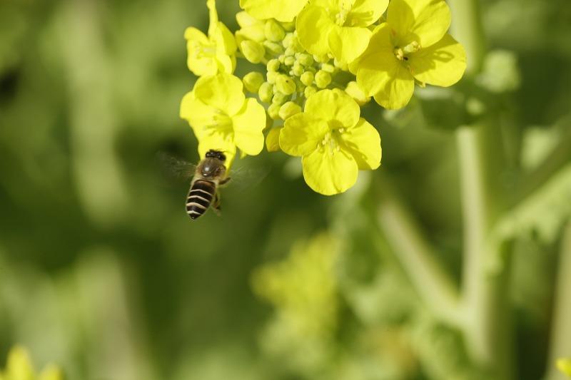 春一番ハチ11