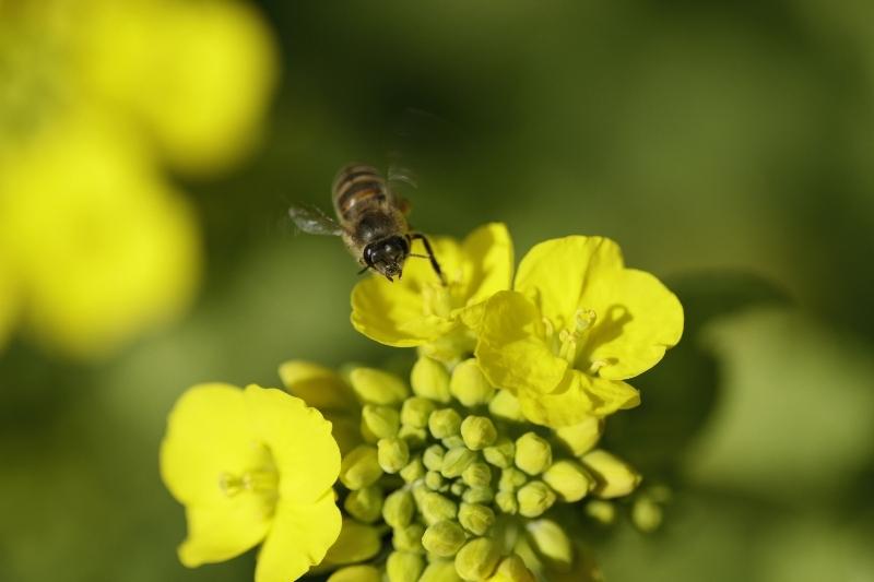 春一番ハチ4