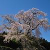 又兵衛桜「本郷の瀧桜」