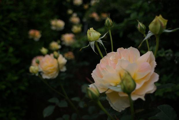 rose1-4