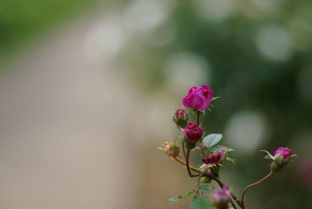 rose1-3