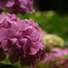 2011紫陽花4
