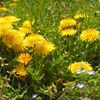 春の野 タンポポ