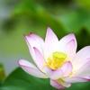 ハスの花 その3