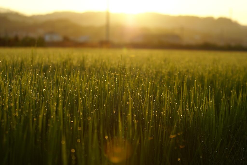 早朝の田んぼ
