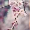 桜@上野公園