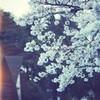 桜@上野公園 2