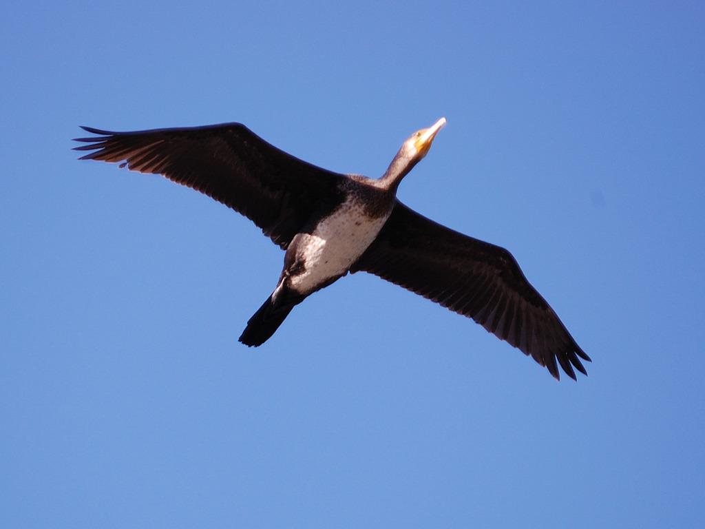 川鵜の飛翔(トリミング)