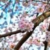 桜 満開です