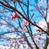 桜が主人公・・・のはず!